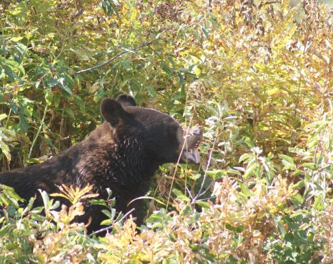 Bear feasting on berries as I float down Waterton River